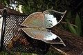 Blue Oakleaf Kallima horsfieldi UP Thane by Dr. Raju Kasambe DSCN4613 (13).jpg