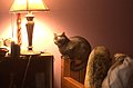 Blue cat on bed in Oklahoma 03.jpg