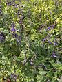 Blue flowers in Jubileum Park, 2016 Gellerthegy.jpg