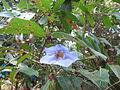 Blue trumpet vine 02.JPG