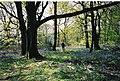 Bluebell wood - geograph.org.uk - 300702.jpg