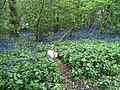 Bluebells - panoramio (1).jpg