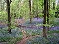 Bluebells in Micheldever Wood - geograph.org.uk - 165524.jpg