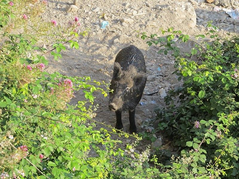 File:Boar male.jpg
