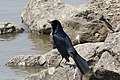 Boat-tailed Grackle Anahuac NWR High Island TX 2018-03-26 10-34-07 (40145764545).jpg