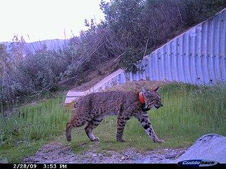 Wildlife corridor - A bobcat (Lynx rufus) using a wildlife corridor to cross between habitats in an urban area.