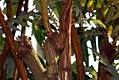 Bocconia frutescens 1zz.jpg