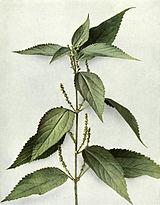 Boehmeria cylindrica WFNY-045.jpg