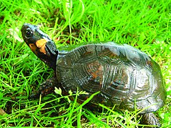 Bog turtles are darkly colored with a (5860909929).jpg