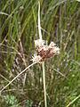 Bolboschoenus maritimus 001.JPG