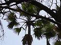 Borassus aethiopum 0011.jpg