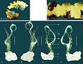 Boreohesperus curiosus Holotype.jpg