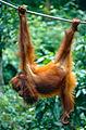 Bornean Orangutan (Pongo pygmaeus) (14584899412).jpg