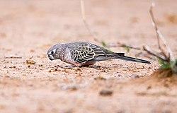 Bourkes parrot 1 (18261135615).jpg