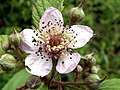 Bramble Flower - geograph.org.uk - 455721.jpg