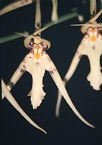 Brassia lanceana Lindley-02