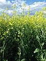 Brassica rapa (7490650534).jpg