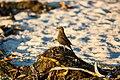 Brewer's blackbird (39205715411).jpg