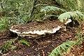 Bridgeoporus nobilissimus 190433.jpg