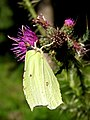 Brimstone on a thistle, Parkhill Inclosure, New Forest - geograph.org.uk - 208264.jpg