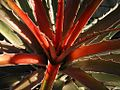Bromelia laciniosa (TS) 1-00887.jpg