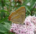 Brown Hairstreak. Thecla betulae - Flickr - gailhampshire.jpg