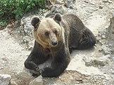 Brown bear in the Skopje Zoo (1).JPG