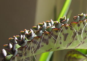 Asexual reproduction - Vegetative plantlets of mother-of-thousands, Bryophyllum (Kalanchoe) daigremontianum