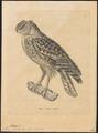 Bubo ascalaphus - 1700-1880 - Print - Iconographia Zoologica - Special Collections University of Amsterdam - UBA01 IZ18400107.tif