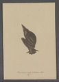 Buccinum roseo-labiatum - - Print - Iconographia Zoologica - Special Collections University of Amsterdam - UBAINV0274 085 06 0013.tif