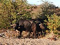 Buffalos eating a bush.jpg