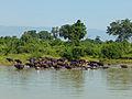 Buffles d'eau-Uda Walawe National Park (3).jpg