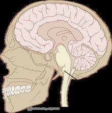 bulbe anatomie