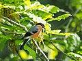 Bullfinch (19620810132).jpg