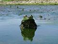 Bullfrog (9558278902).jpg