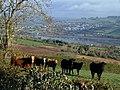 Bullocks by Butterfly Lane - geograph.org.uk - 784910.jpg
