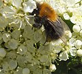 Bumble Bee In Extasy (36577952).jpeg