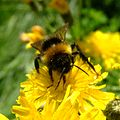 Bumblebee, Sandy, Bedfordshire (7368078288).jpg