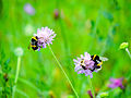 Bumblebees sharing a flower with bee (21065738973).jpg