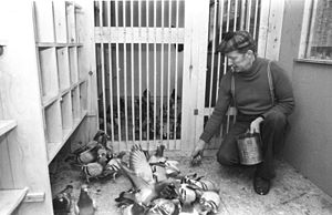Pigeon racing - A fancier with racing pigeons.