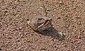 Bushveld Rain Frog (Breviceps adspersus) (5984406719).jpg