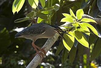 Striated heron - Image: Butorides striata Orto botanico di Pamplemousses Mauritius 0069