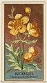 Buttercups (Ranunculus bulbosus), from the Flowers series for Old Judge Cigarettes MET DP822009.jpg