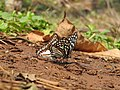 Butterfly mud-puddling at Kottiyoor Wildlife Sanctuary (23).jpg