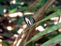 Butterfly near Cape Tribulation 20051024.png