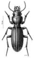 COLE Carabidae Mecodema chiltoni.png