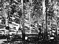 COLLECTIE TROPENMUSEUM Het aftappen van latex op een rubberplantage TMnr 60019224.jpg