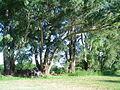 CPonte Eucalyptus.jpg