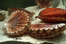 CSIRO ScienceImage 2228 Scallops on the Seabed.jpg