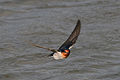 CSIRO ScienceImage 3477 Welcome Swallow Flinders Victoria.jpg